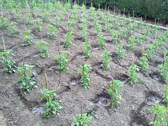 Las guindillas y pimientos en la huerta - Preparacion de la tierra para sembrar ...