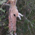Uno de los perros ahorcados. Se puede ver también la señal del tiro que recibió.